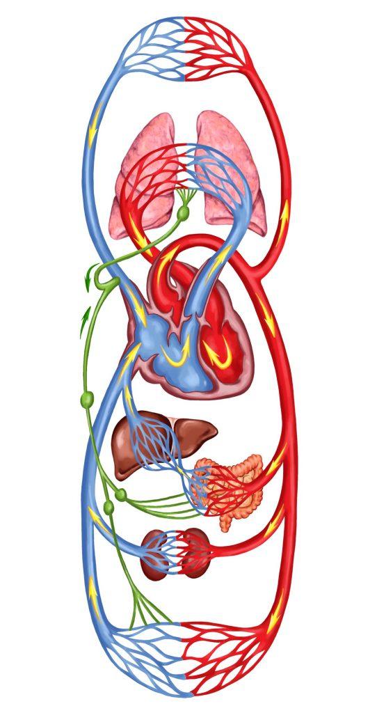 Krvni obtok in vitalni pretok zivljenja spodbuja zdrava cirkulacija misli in custev in Zaper Zaperino terapija