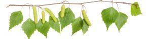 Brezovi listi in socvetja so zdravilna za celo telo, zaper frekvence pa uničijo parazite in pomagajo imunskemu sistemu