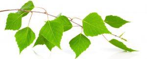 Zdravilna moč brezovih listov skupaj z Zaper frekvenčno dr. Clark terapijo