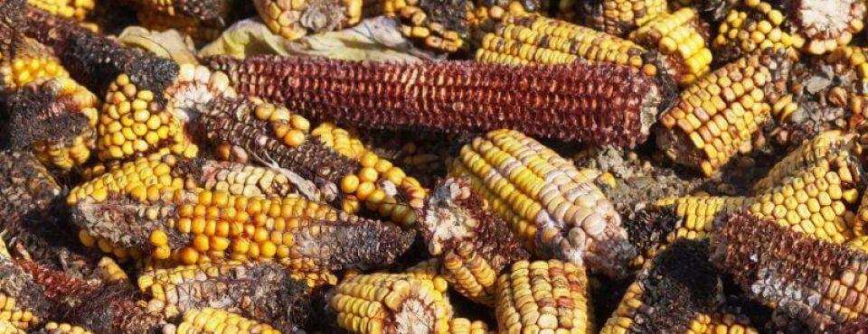 aflatoksini na koruzi Aspergillus flavus